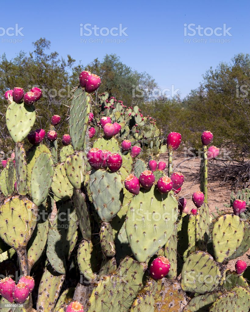Prickly Pear fruit 2 stock photo