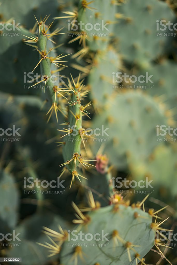 Prickly Pear in Bloom stock photo