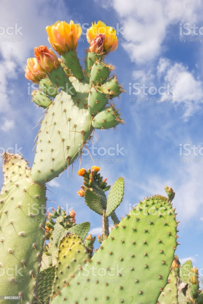 Prickly Pear in Bloom royalty-free stock photo