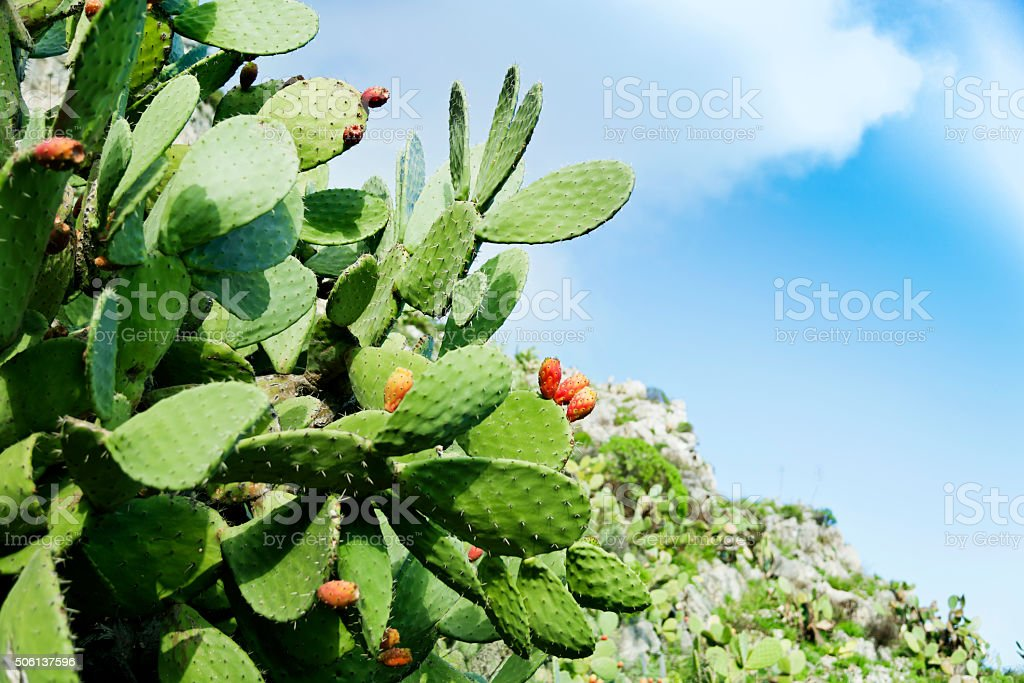 Prickly pear infront of blue sky stock photo