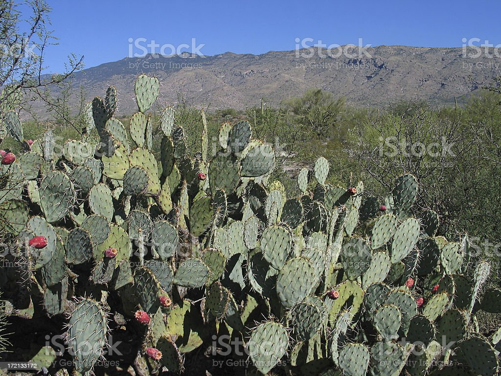 Prickly Pear Landscape royalty-free stock photo