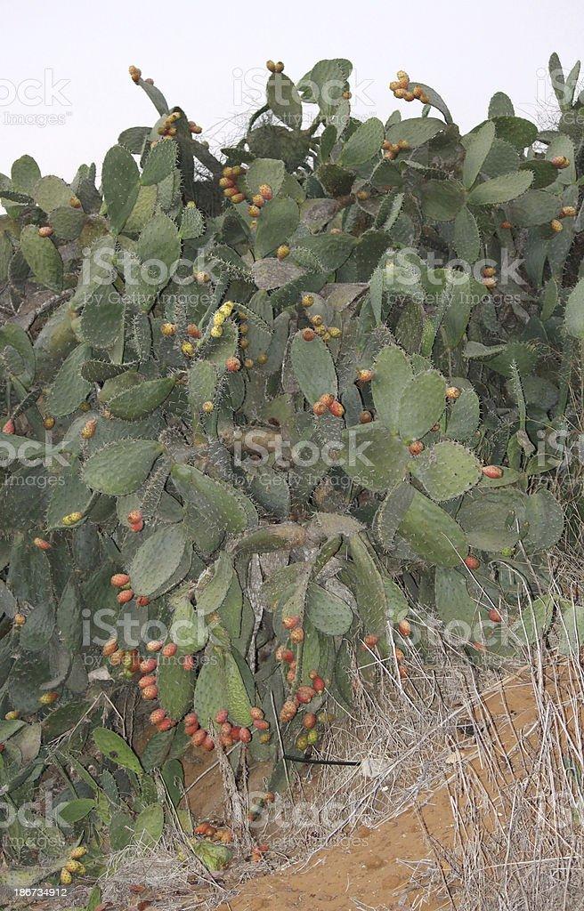 Prickly Pear Sabra hedge royalty-free stock photo