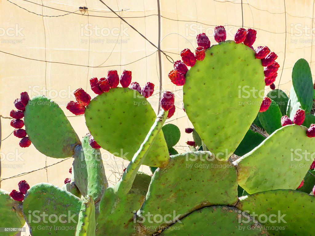 Prickly pear with red fruits royalty-free stock photo