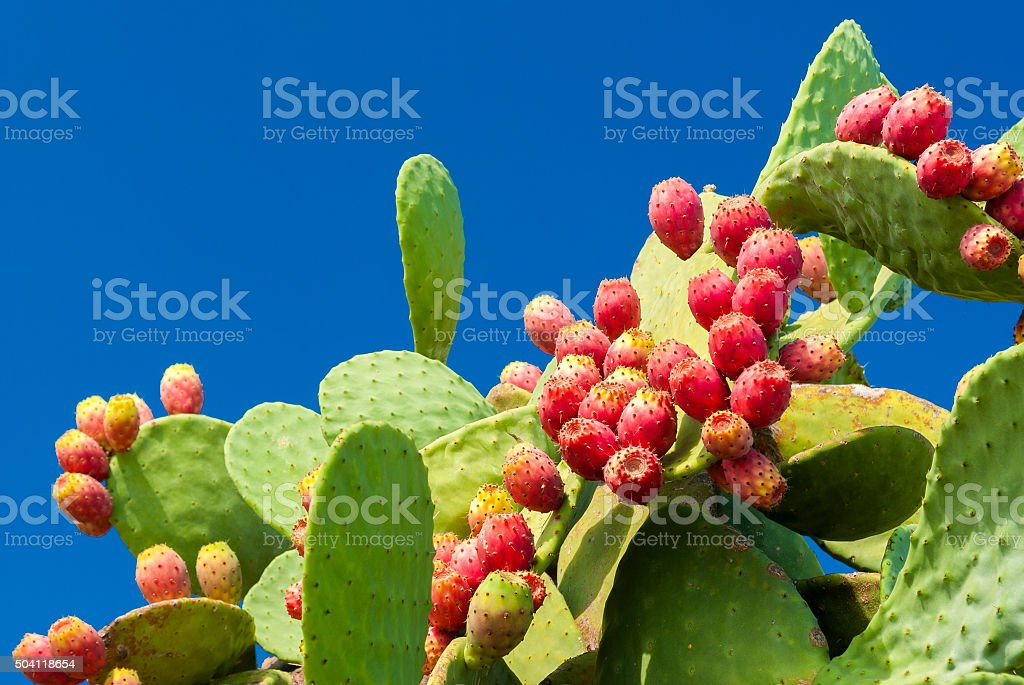 Prickly pears with red fruits and blue sky in background stock photo