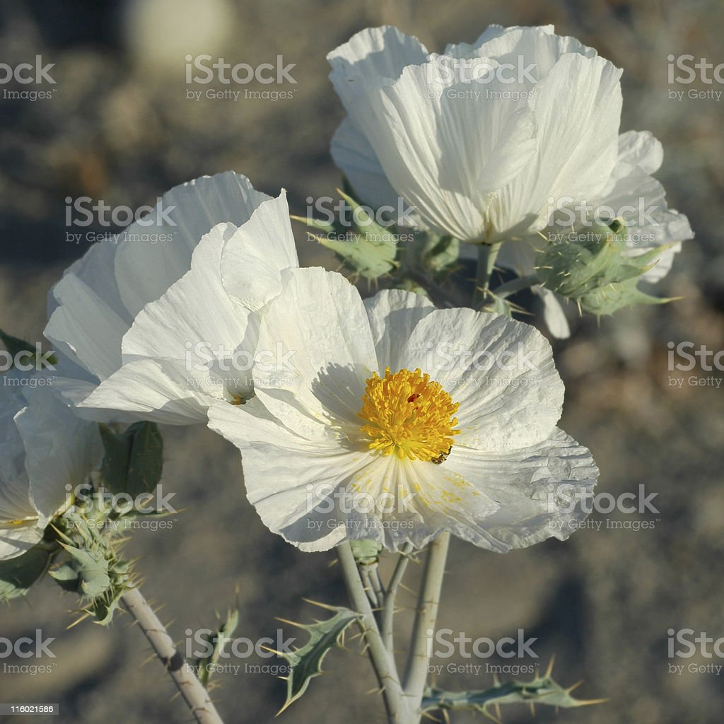 prickly poppy, Argemone munita royalty-free stock photo
