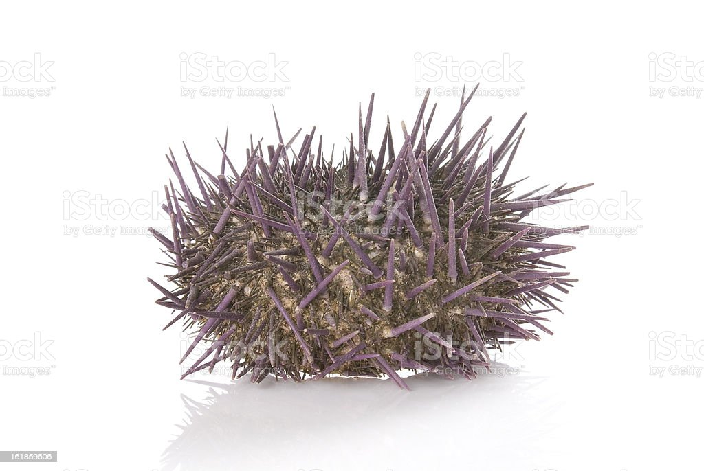 Prickly sea urchin on a white background. royalty-free stock photo