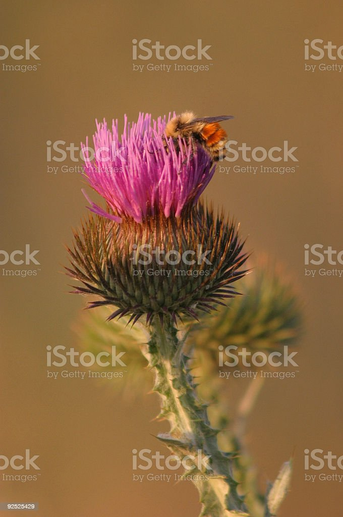 Prickly Sweet royalty-free stock photo