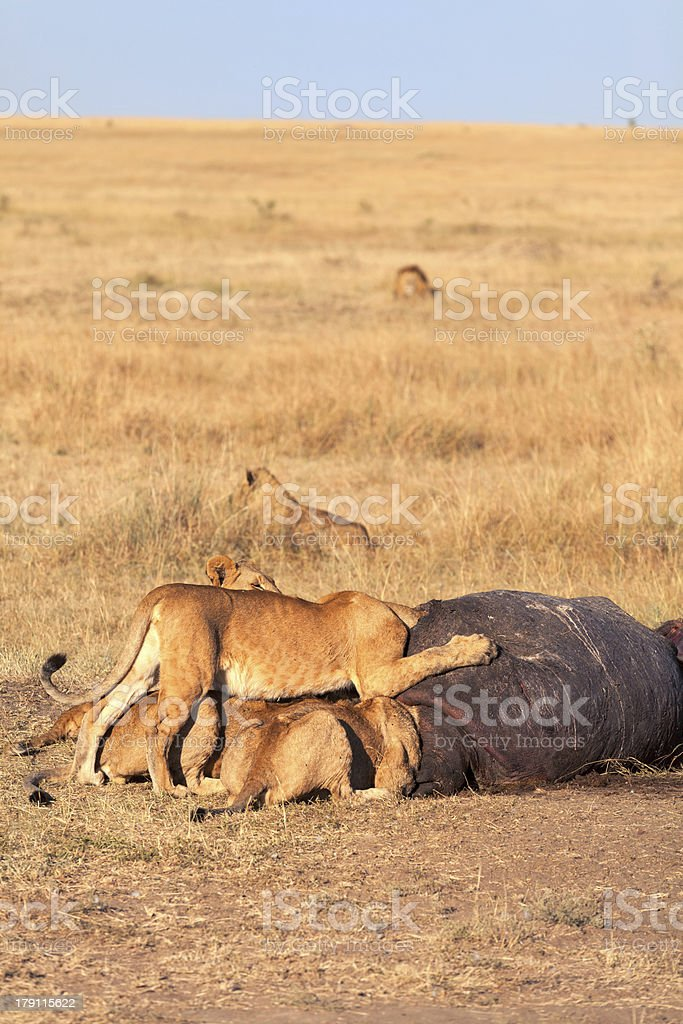 Pride of lions eating a pray in Masai Mara royalty-free stock photo
