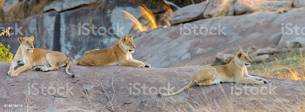 Pride of Lions in Africa's Serengeti stock photo