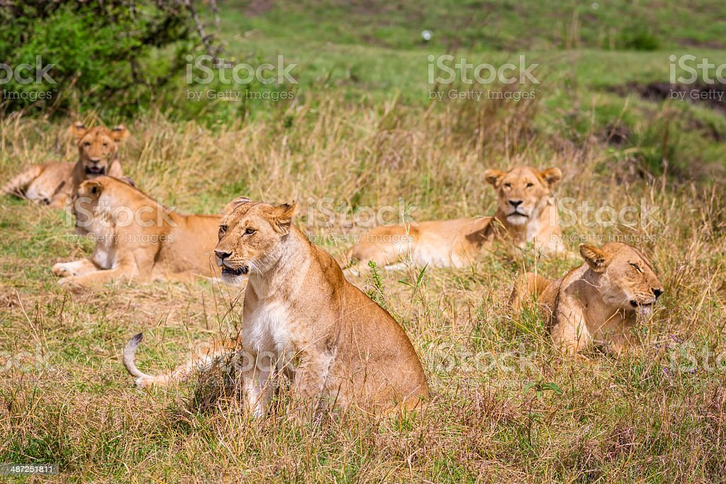 Pride of lions in Serengeti N.P. - Tanzania stock photo