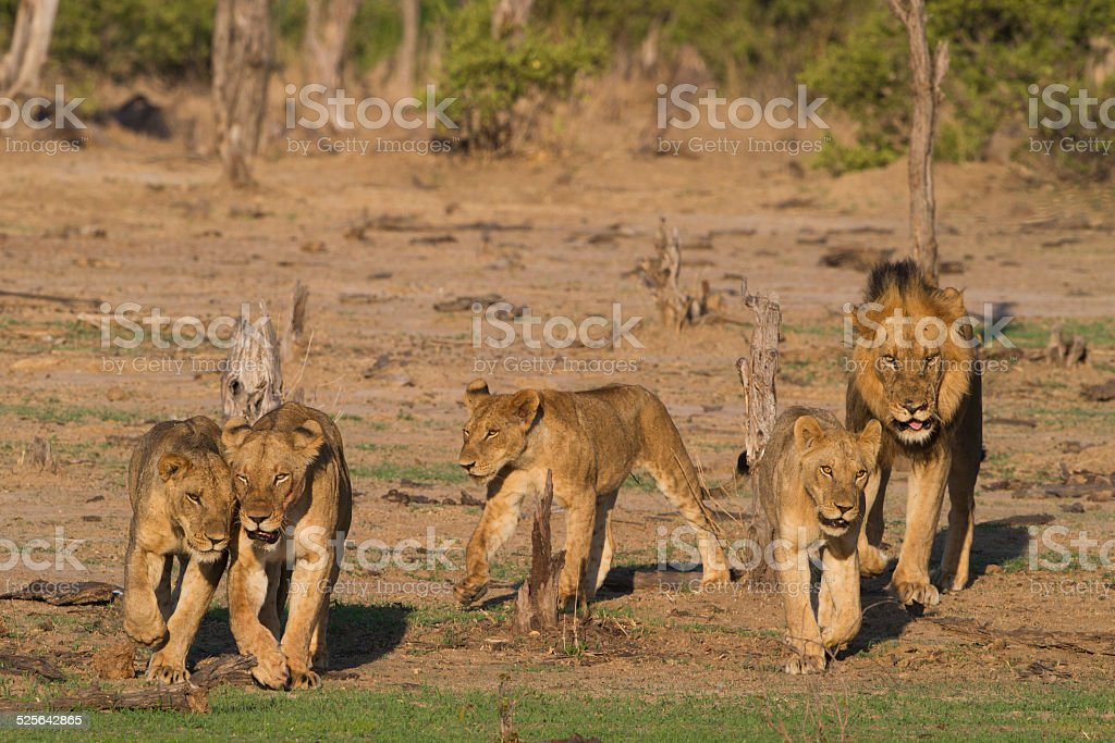 Pride of Lions on the move stock photo
