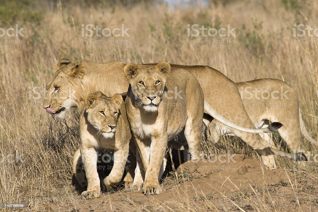 Pride of lions royalty-free stock photo