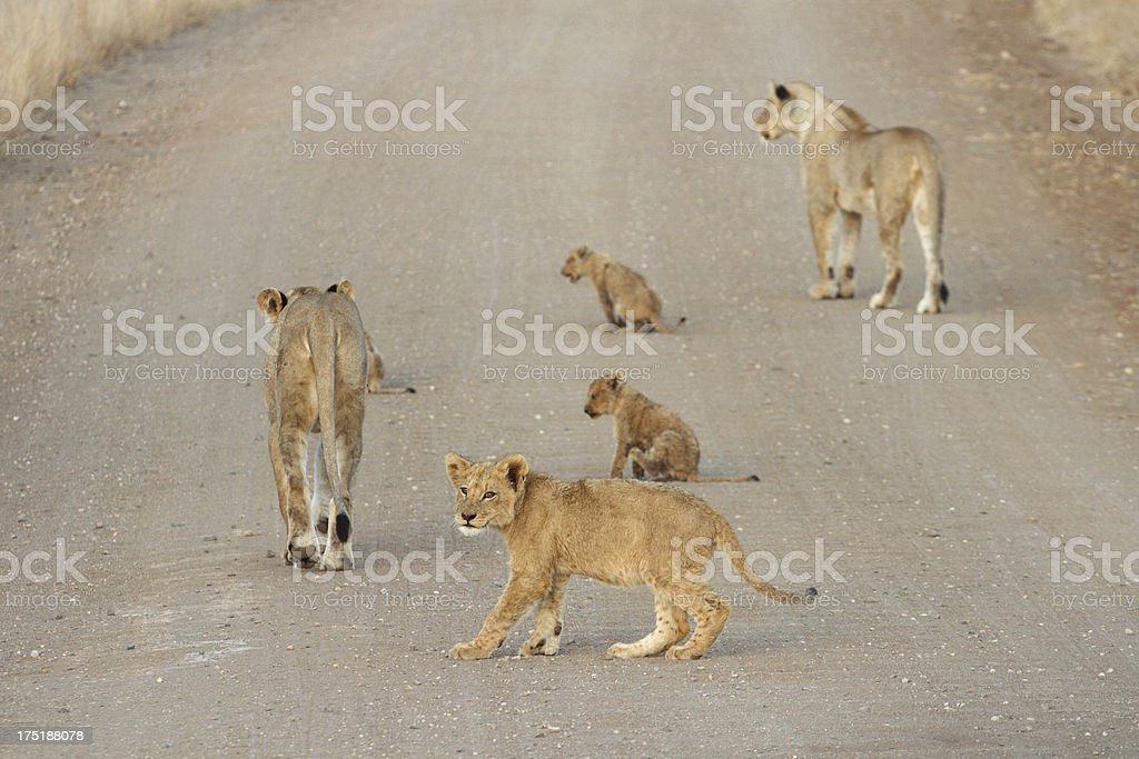 pride of lions, walking down road, cub in foreground, defocused royalty-free stock photo