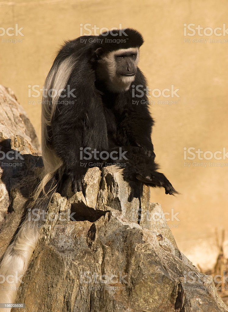 Primate on a Rock royalty-free stock photo