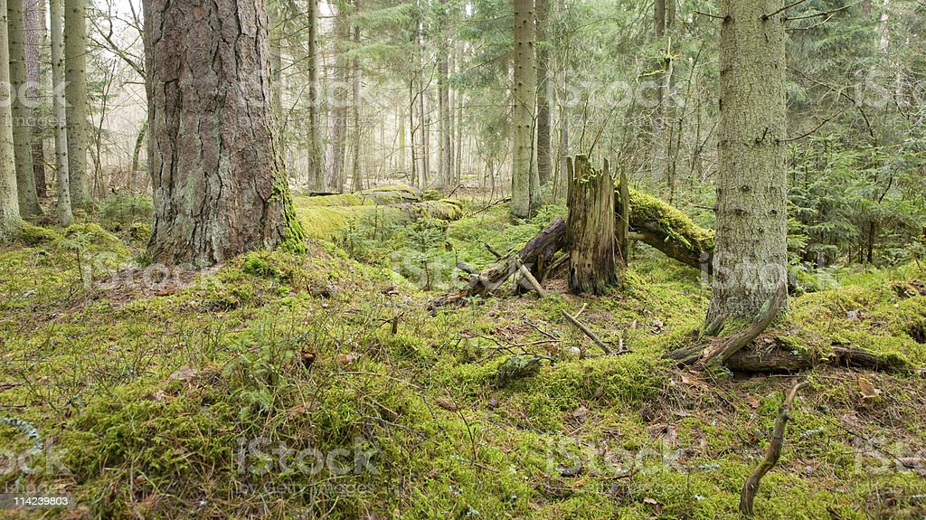 Primeval coniferous forest stock photo