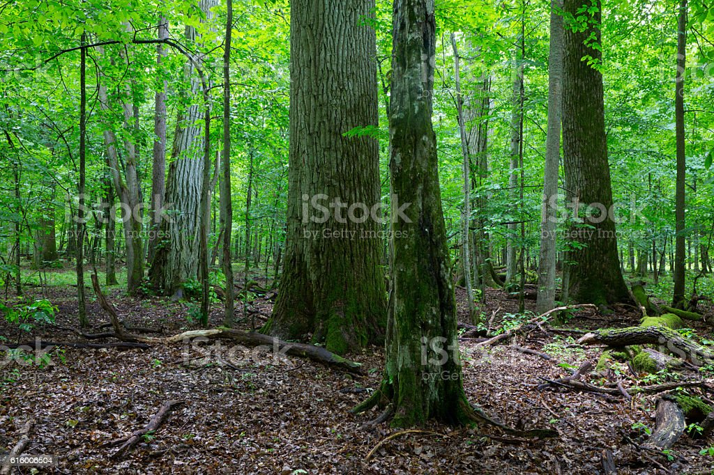 Primeval deciduous stand of natural stand in summertime stock photo