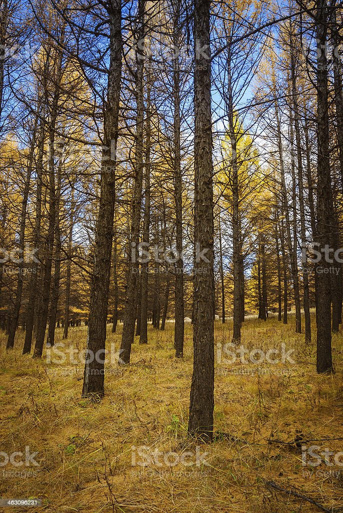 Primeval forest in autumn royalty-free stock photo