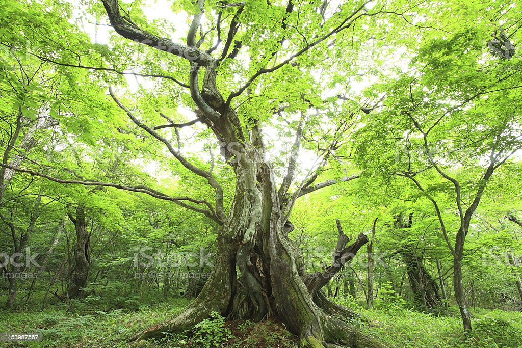 Primeval forest of Chestnut tree royalty-free stock photo