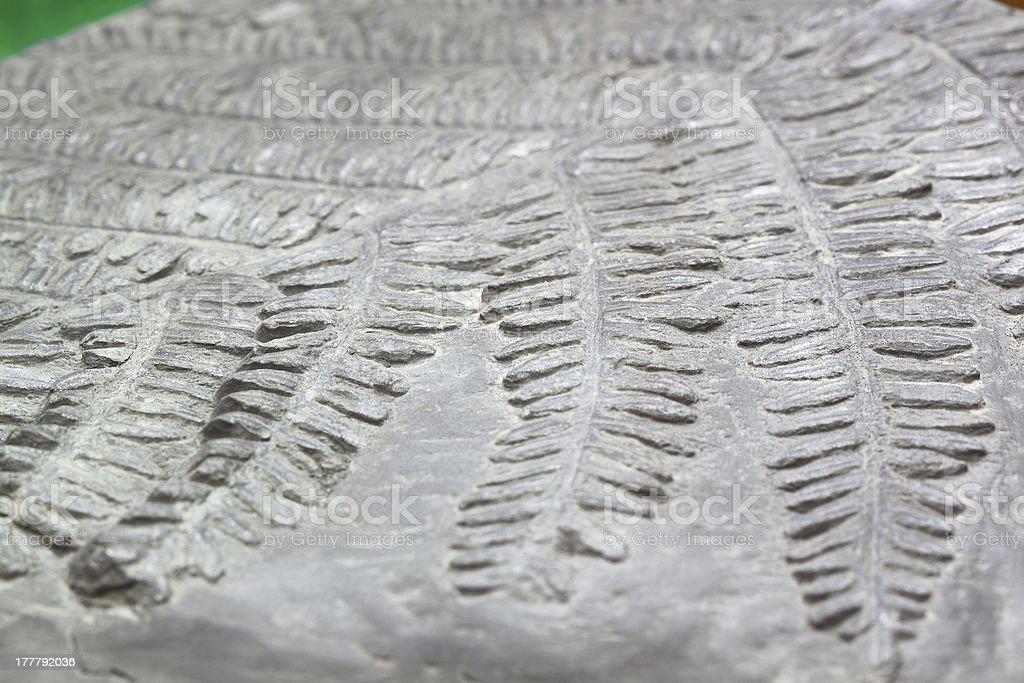Primitive fern fossil stock photo