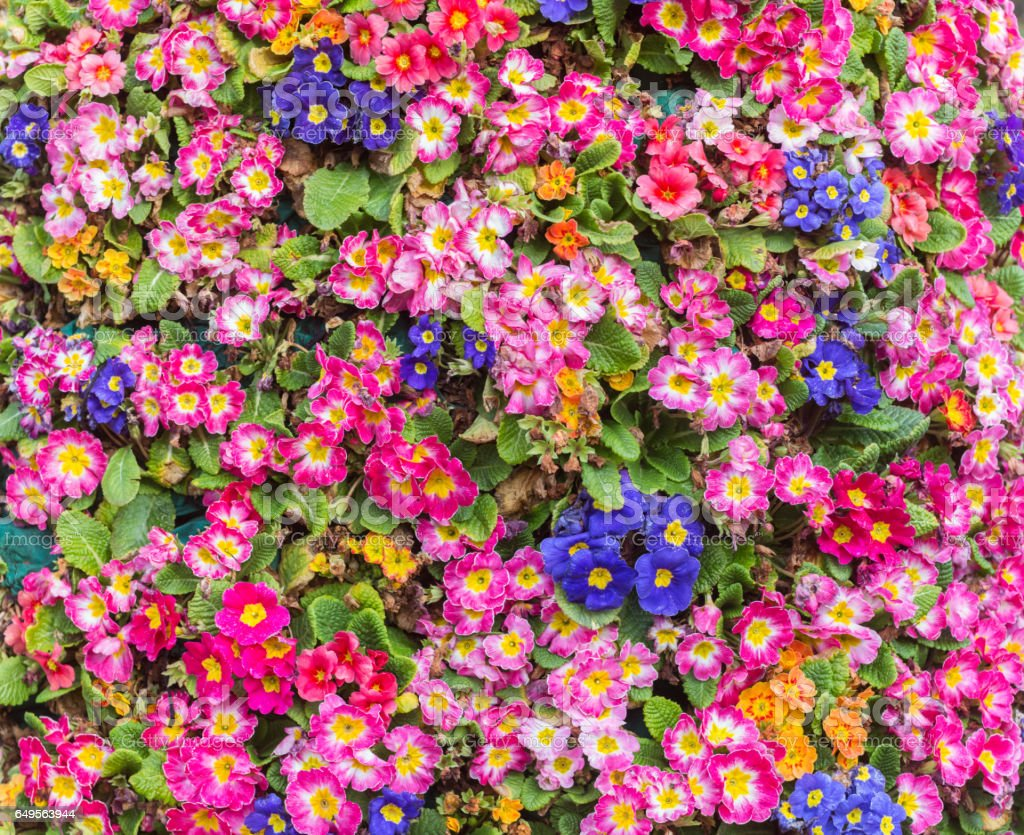 primrose blooming in spring stock photo