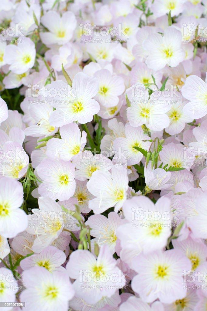 Primrose in blossom stock photo