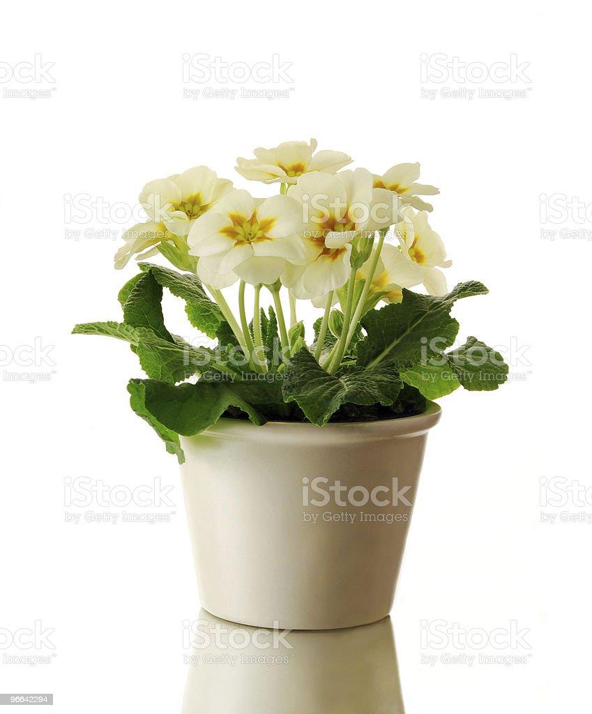 Primrose in pot royalty-free stock photo