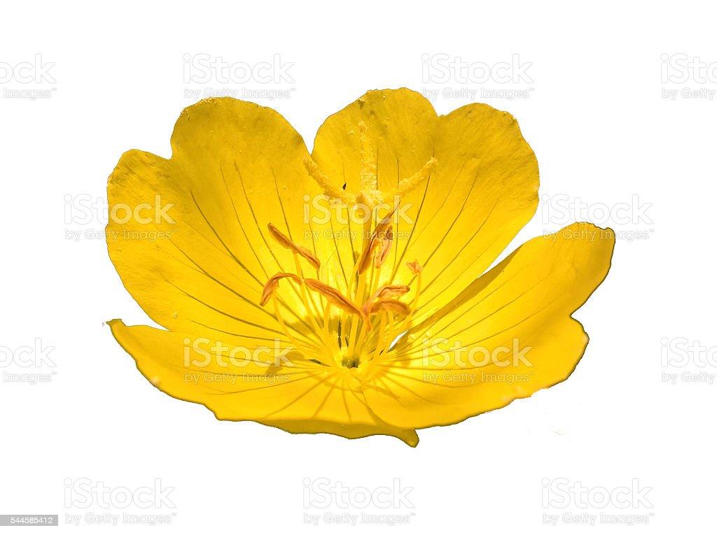Primrose (Oenothera Pilosella) Isolated stock photo
