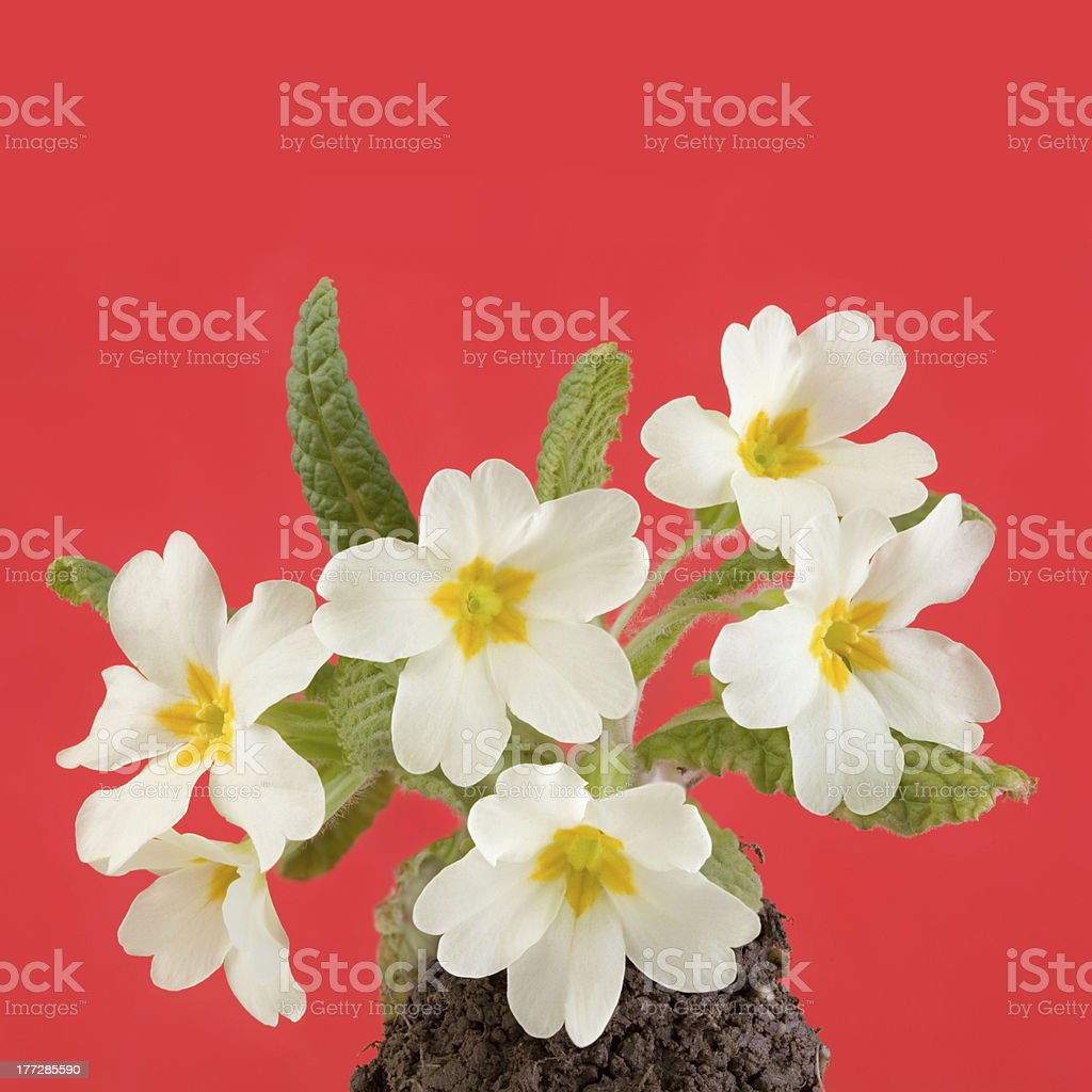 Primrose royalty-free stock photo