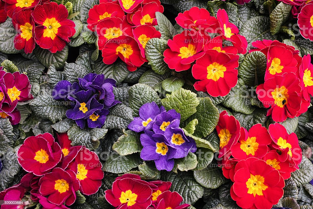 Primrose royalty-free stock photo