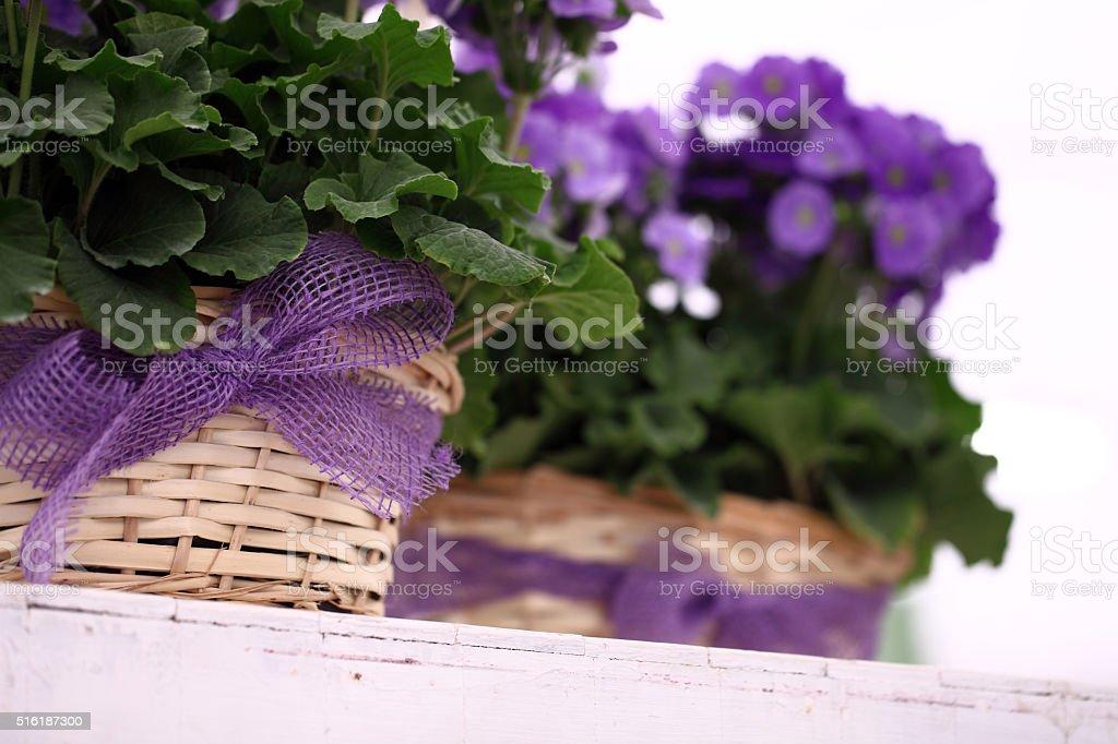 primrose purple flowers in wicker basket with ribbon bow stock photo