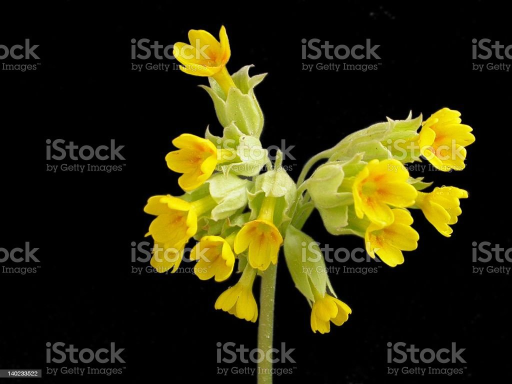Primrose with black background stock photo