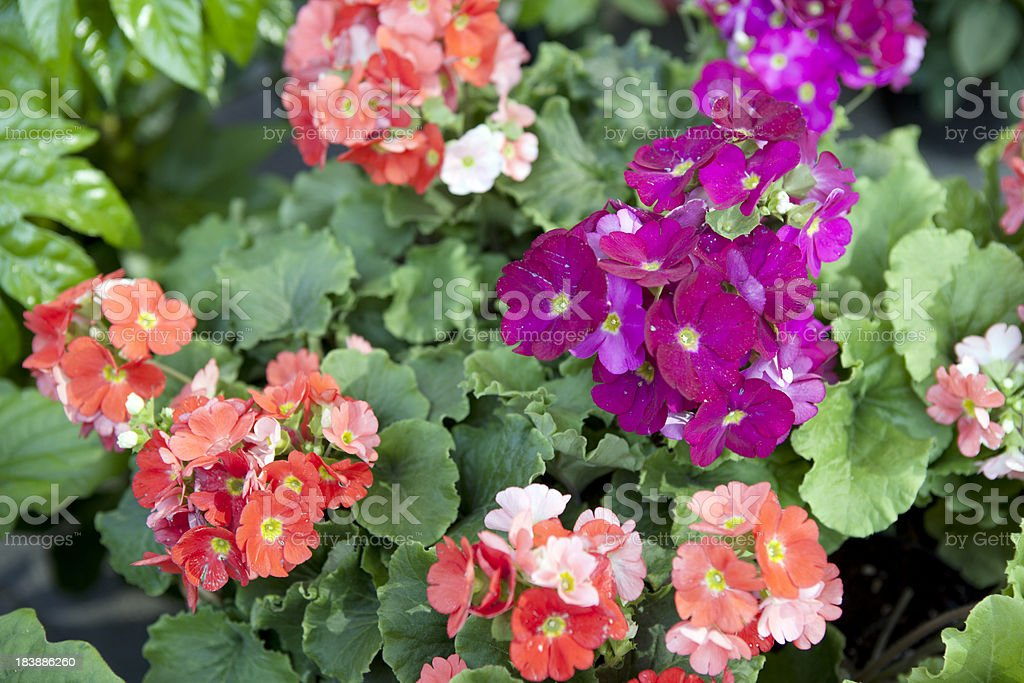 Primroses at Flower Market in Venice Italy royalty-free stock photo
