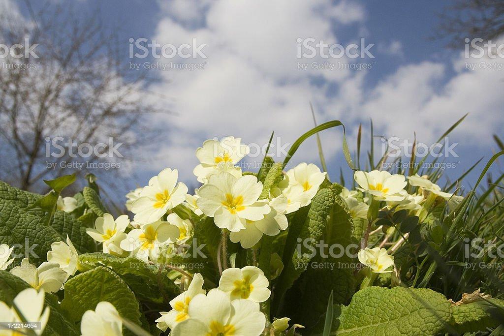Primroses in Spring stock photo