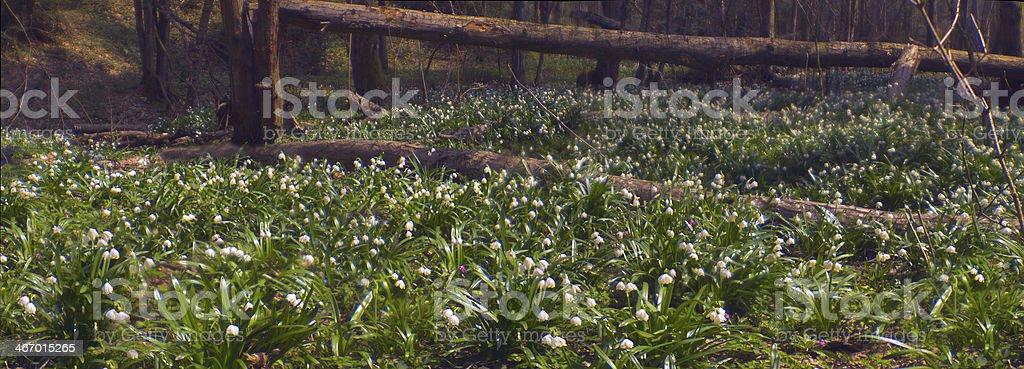 Primroses in spring royalty-free stock photo