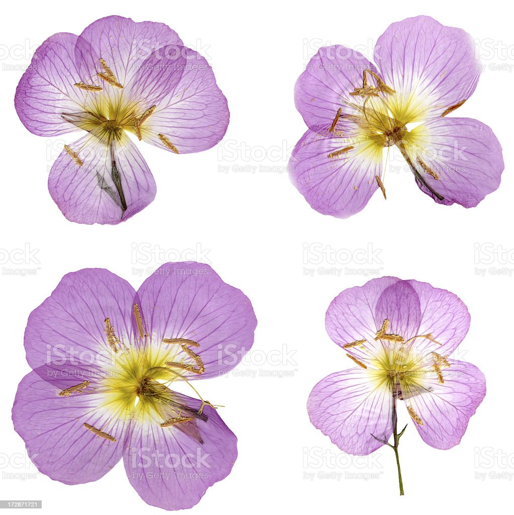 Primroses Isolated on White XXXL royalty-free stock photo