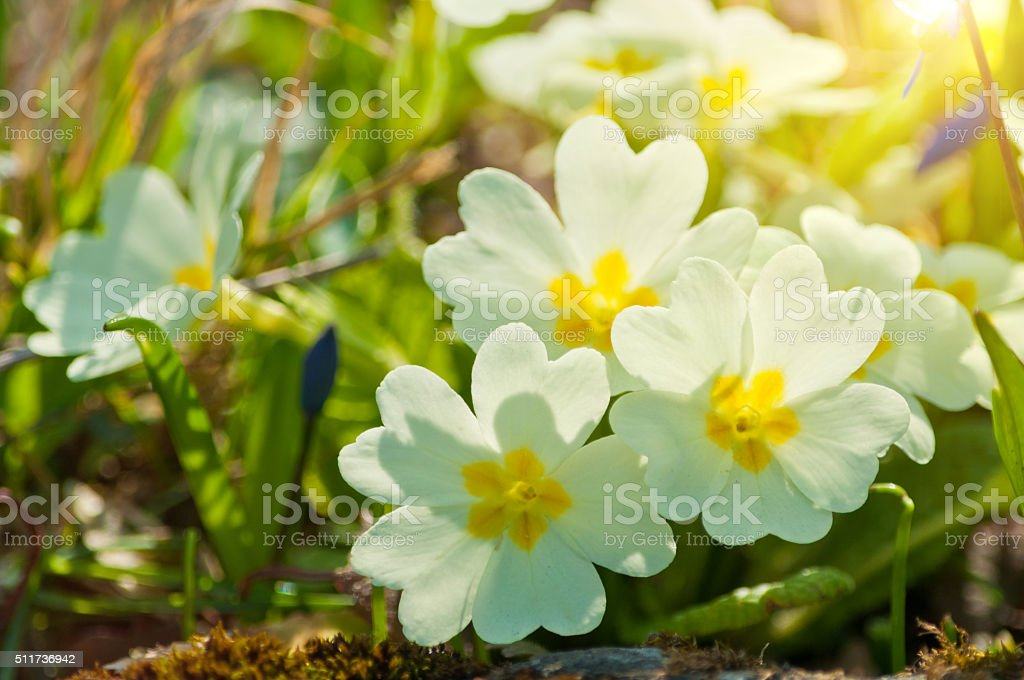 primroses on march in sunlight stock photo