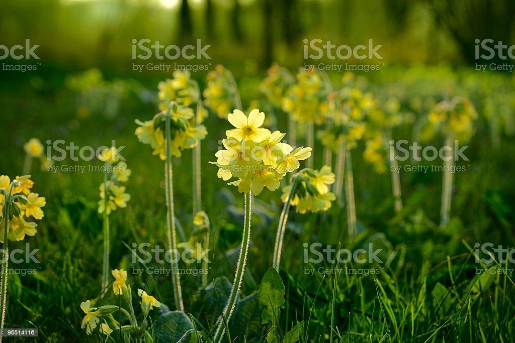Primroses (Primula elatior) royalty-free stock photo