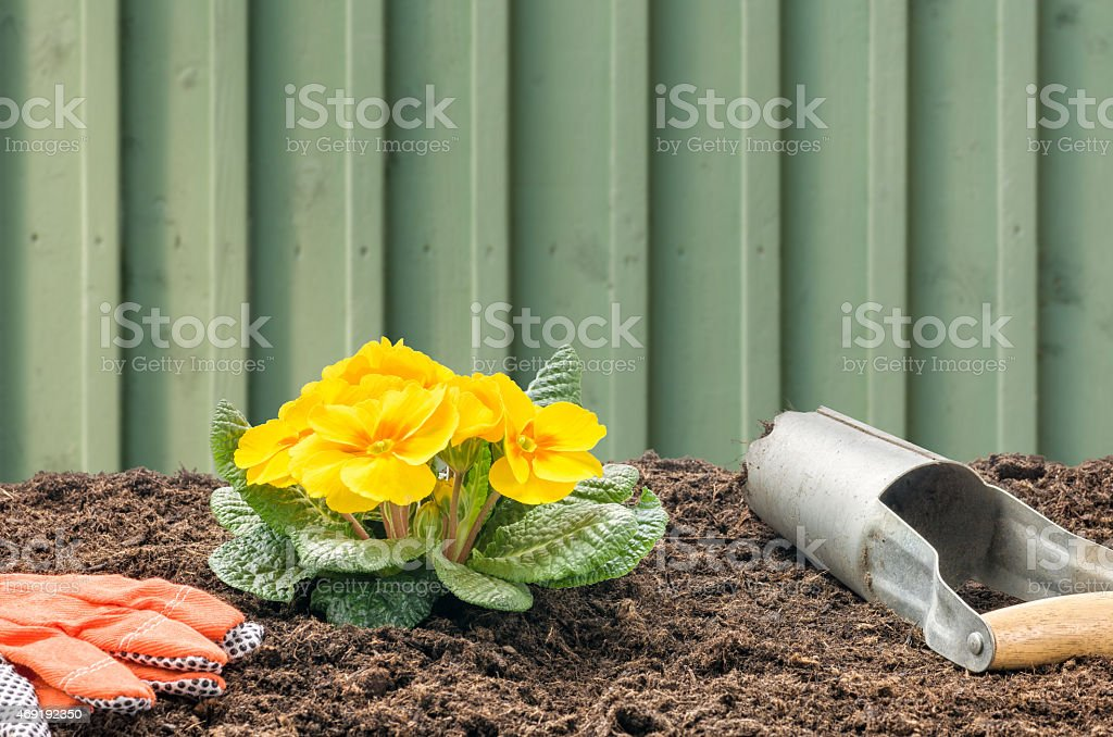 Primroses with a bulb planter and gloves stock photo