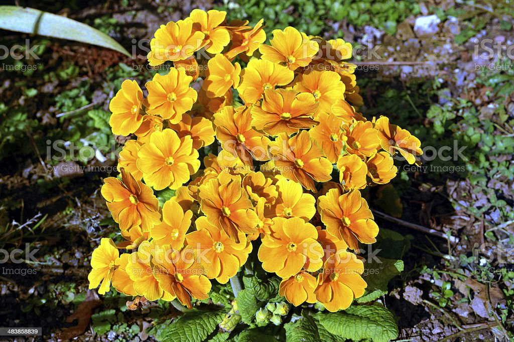 Primula 'Crescendo Yellow Gold' stock photo