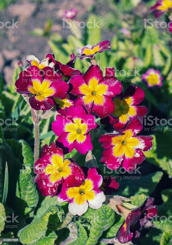 Prímula Flor foto de stock royalty-free