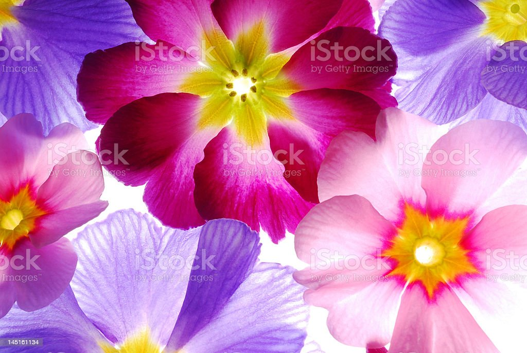 primula flowers royalty-free stock photo