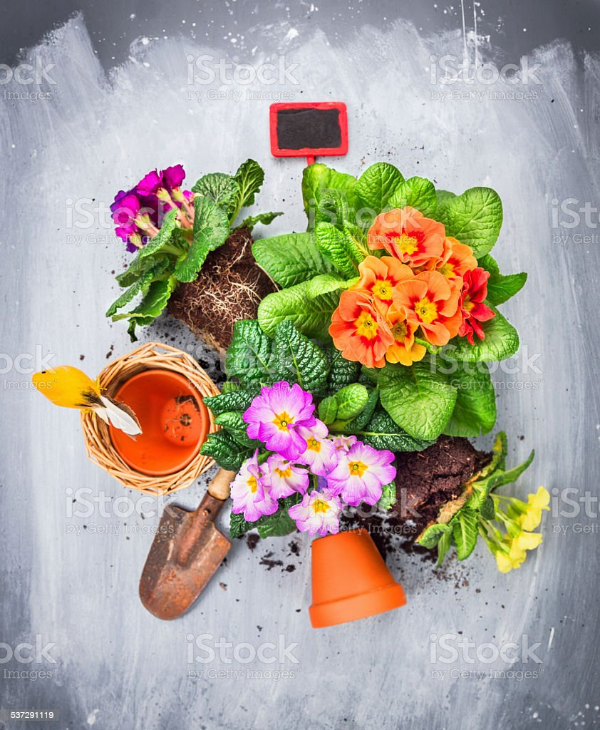 Primula flowers potting set with shovel and red sign stock photo
