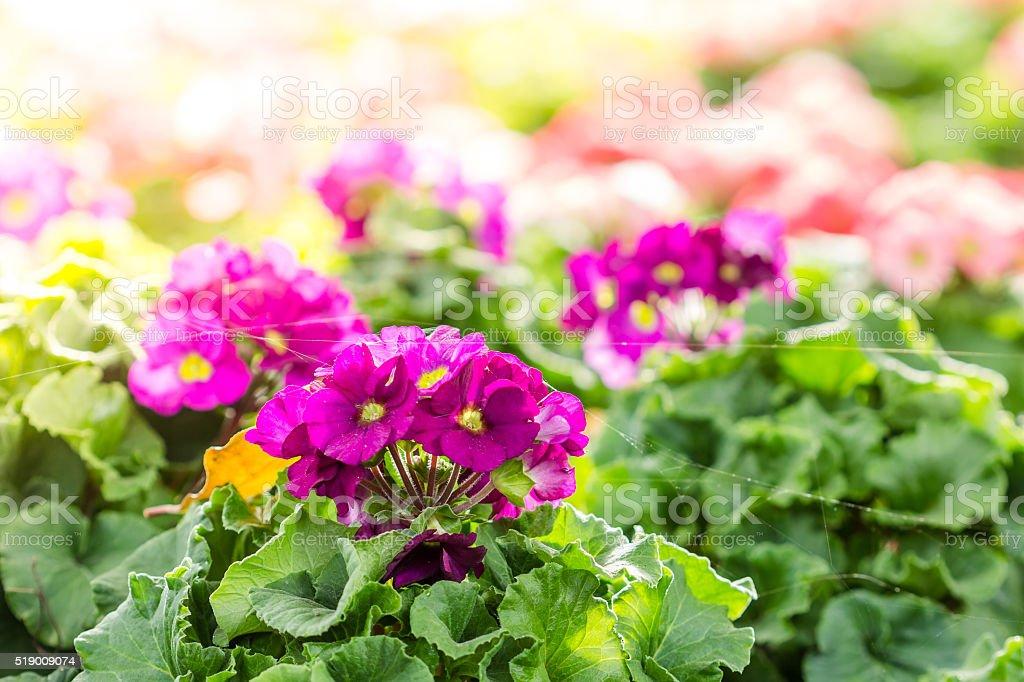 primula flowers. spring flowers primrose in garden stock photo