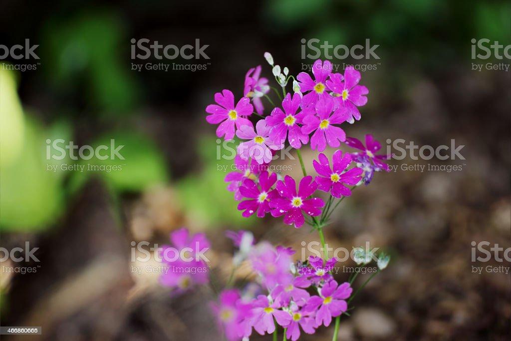 Primula Malacoides Flowers stock photo
