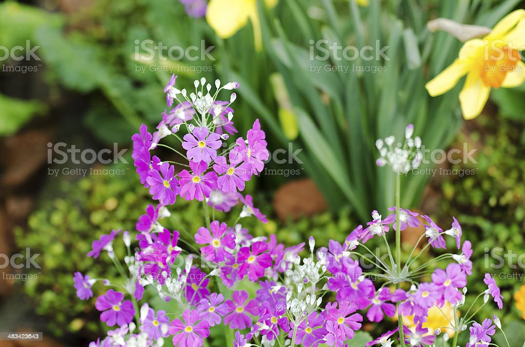 Primula Malacoides flowers. stock photo