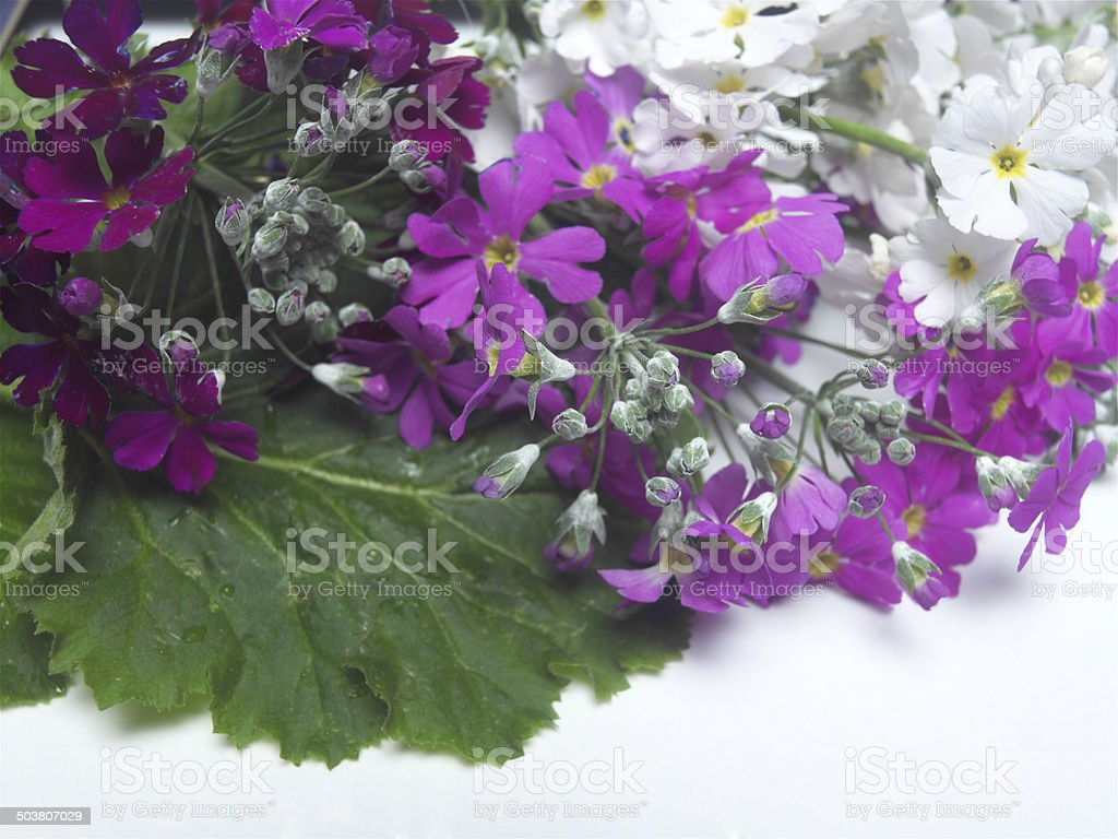 Primula royalty-free stock photo