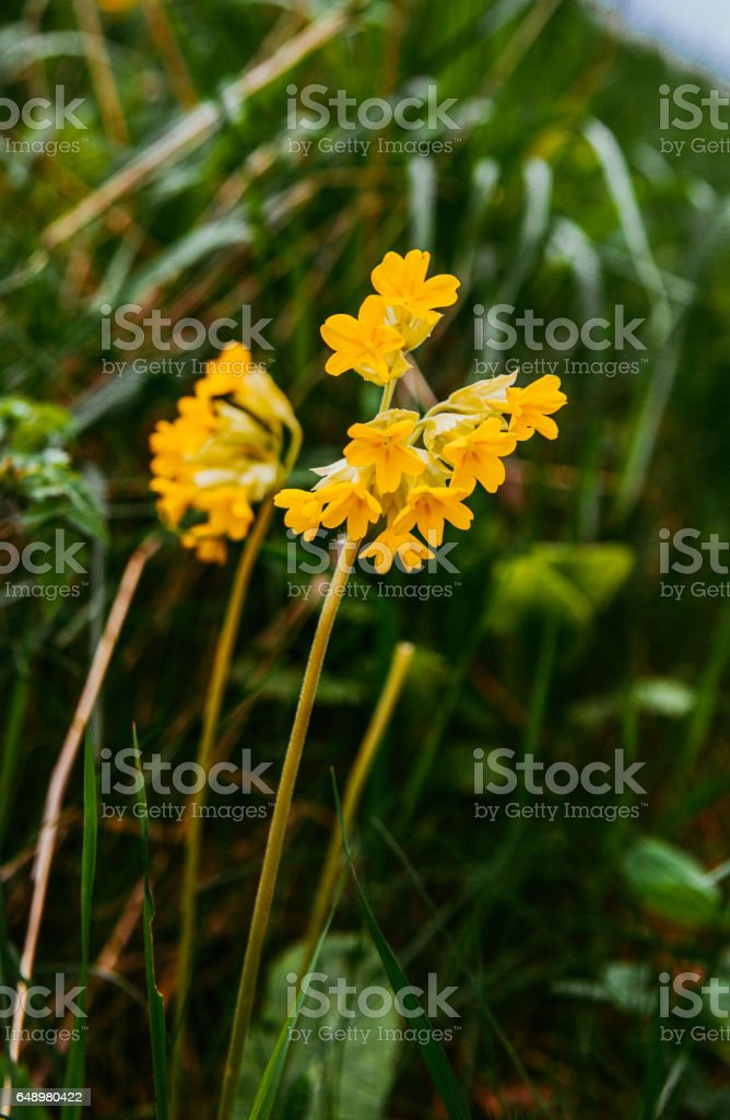Primula veris or Primula officinalis (Primula veris). Common cowslip. stock photo