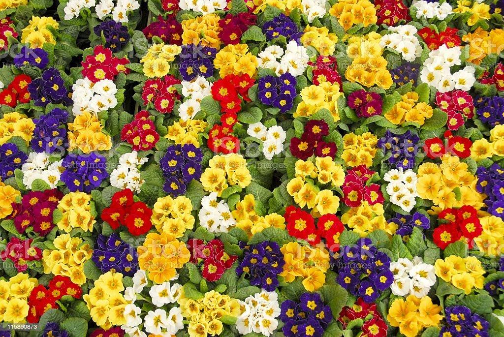 Primula Vulgaris royalty-free stock photo
