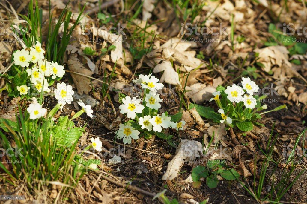 Primula vulgaris, Primula acaulis, or in the beech-oak forest stock photo
