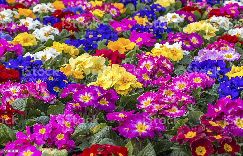 Primulas stock photo